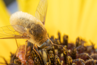 Beefly eating pollen in the middle of a Sunflower