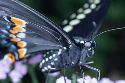 Swallowtail Butterfly Close Up on Yarrow