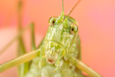 Really Close Photo of a Katydid with a Pink and Orange Background