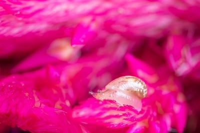 Tiny Slug on a Pink Flower
