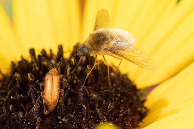Beefly eating pollen in the middle of a Sunflower next to a beetle