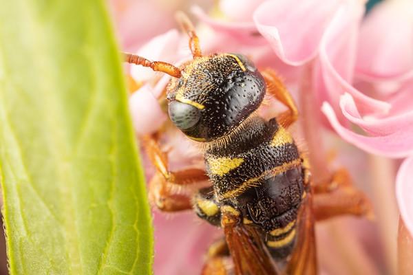 Close up of a Cicada Killer on Milkweed Flowers