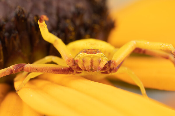 Crab Spider on Yellow Flower with Arms Open