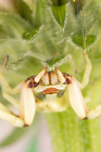 Crab Spider Thomisidae Flower Spider Under a Purple Coneflower