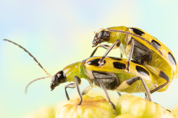 Two Spotted Cucumber Beetles Mating