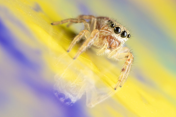 A Small Jumping Spider on a Colorful Card with its Reflection Visible