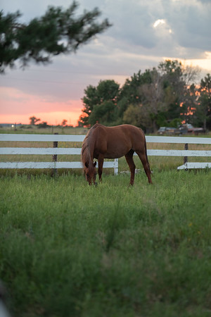 Brown Horse Eating Grass in a grassy field in the Midwest surrounded by a white fence during sunset