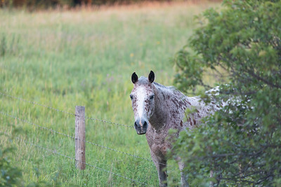 White and Brown Spotted Horse Eating Grass Across a Fence in the Midwest