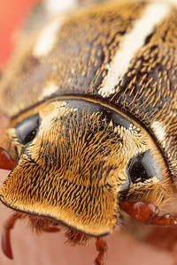 Close photo of a Ten Lined June Beetle Junebug With Strange Looks, Details, and a Duck bill that squeaks