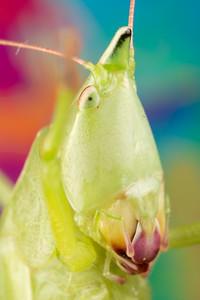 Close up photo of a Nebraska Conehead Insect, Neoconocephalus nebrascensis from the Tettigoniidae family