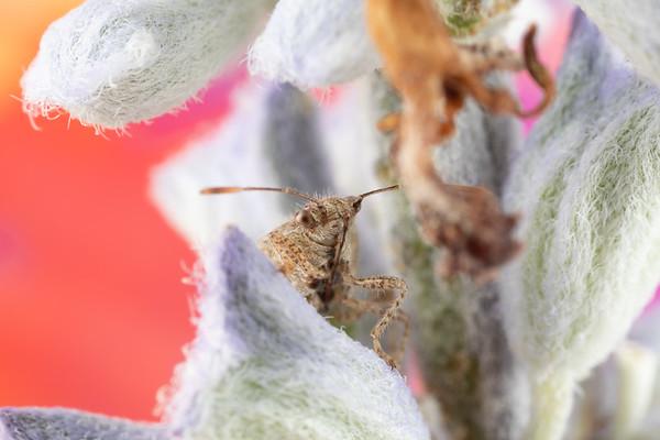 A cute little miridae  plant bug hiding on a plant True Bug