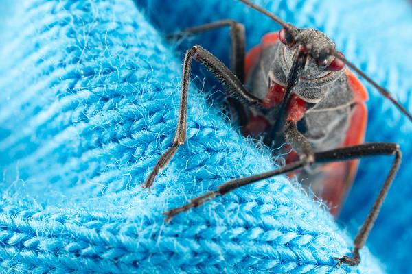 Boxelder Bug Boisea Trivittata close up on a blue cloth
