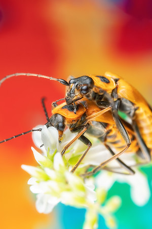 A pair of goldenrod soldier beetles, pennsylvania leatherwing bugs mating on a flower