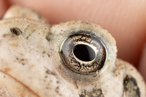 A small toad's eye, very detailed and interesting