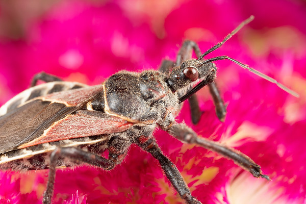 A bee assassin bug apiomerus spissipes hunting for food in a pinik flower