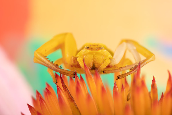 A yellow crab spider flower spider thomisidae on a purple coneflower waiting for prey