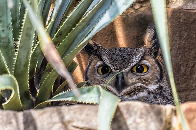 Athena (Great Horned Owl)
