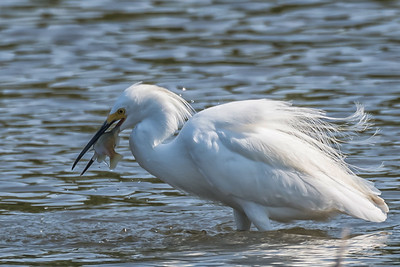 Snowy Egret Went Fishing