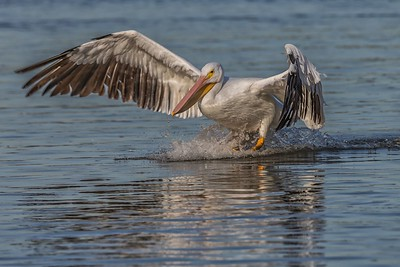Pelican Landing at White Rock Lake