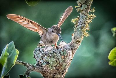 Mrs Black-Chin Hummingbird