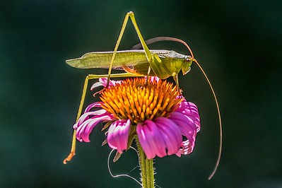 Grasshopper on Cone Flower