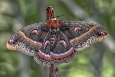 Cecropia Silk Moth