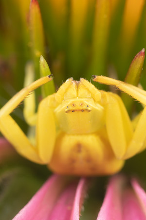 A Yellow Crab Spider on a Purple Coneflower