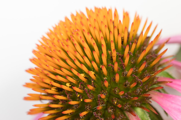 Side view of the center of a Purple Coneflower Echinacea