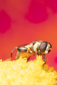 A small hoverfly eating pollen from a flower
