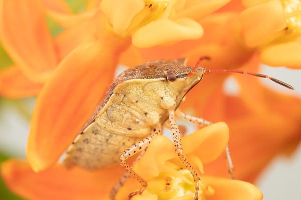 Detailed Photo of a Stink bug on Milkweed