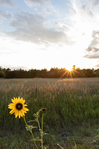 Beautiful Sunset with Sunflower in the foreground