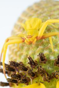 A Crab Spider on a Prairie Coneflower - Thornisidae