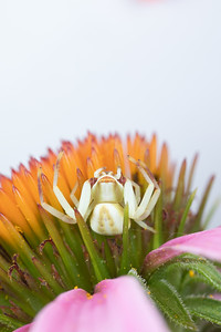 A Crab Spider Waiting on a purple coneflower for prey - Thornisidae