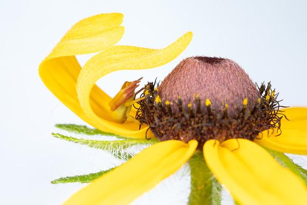 Crab Spider Waiting under a Yellow Flower Petal