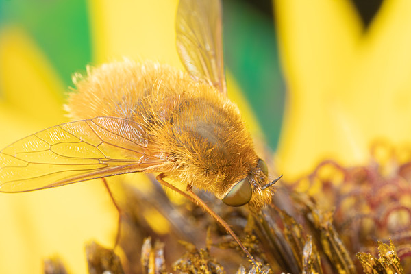 A Bombyliidae Beefly on a Sunflower