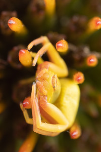 A Crab Spider in the middle of a coneflower