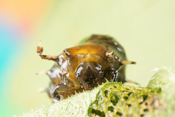 Slimy Tortoise Beetle Larva Getting Ready to Pupate