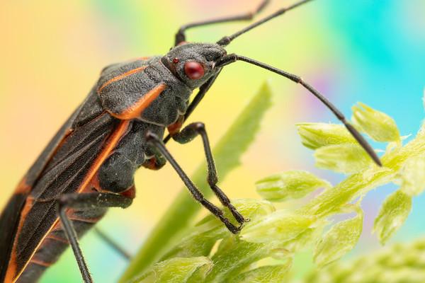 Boxelder bug on Flower Stem