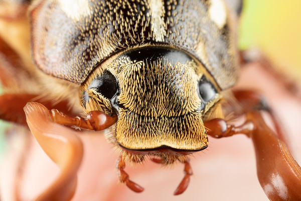 Close Up With a Ten Lined June Beetle and a Colorful Background