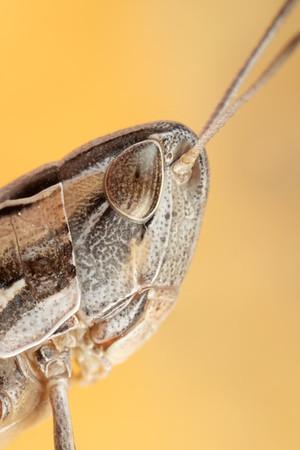 Grasshopper Portrait with Orange Background