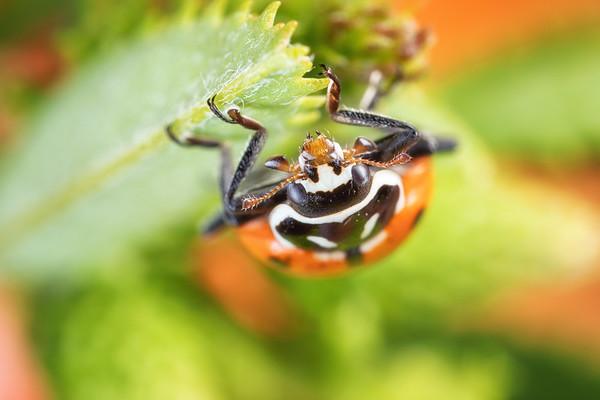 A Convergient Ladybird Beetle Ladybug underneath a leaf