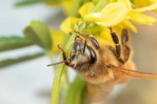 A Female Honeybee Worker Bee Hanging on a Flower Stem