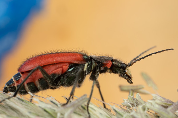 Small Soldier Beetle