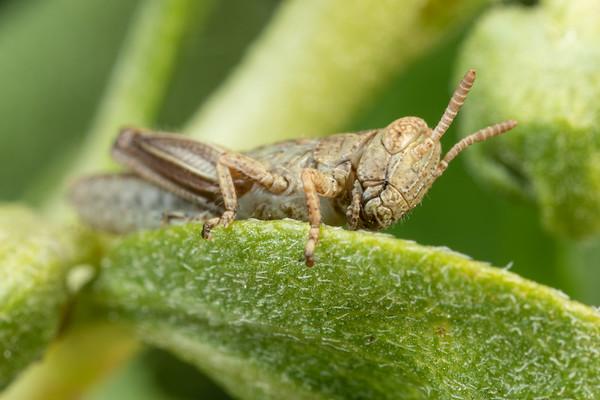 Small Brown Grasshopper on a Leaf