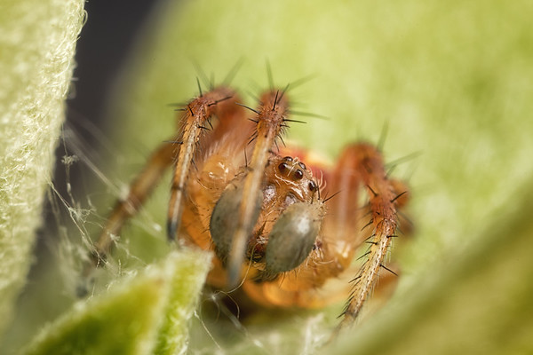 Tiny Spider on a green Leaf