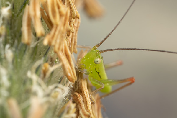 Baby Katydid on Grass