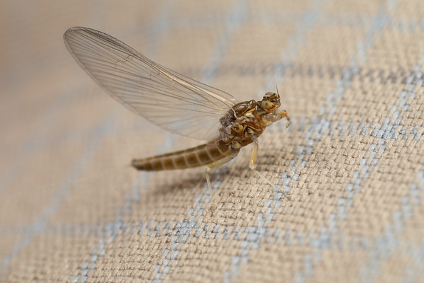 Small Mayfly on Fabric