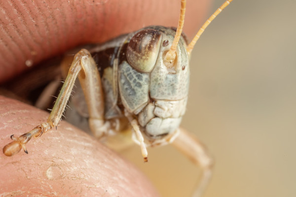A tiny grasshopper that I'm holding in my fingers