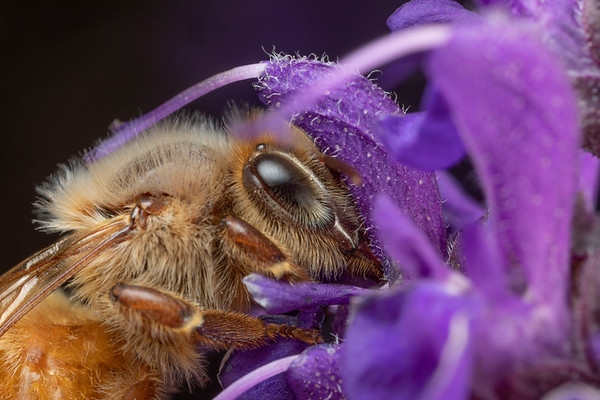 A honeybee collecting pollen from purple salvia