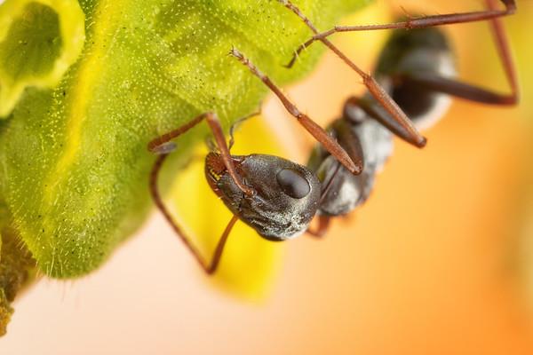 Carpenter Ant on a Flower